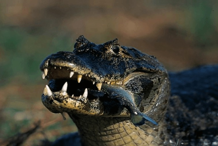 Pantanal Aligator