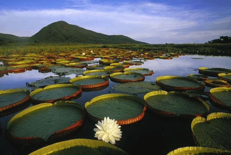 Pantanal Lily Pads